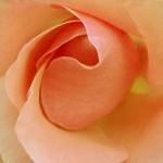 roseorangecarre
